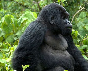 3 Days Bwindi Gorilla Safari