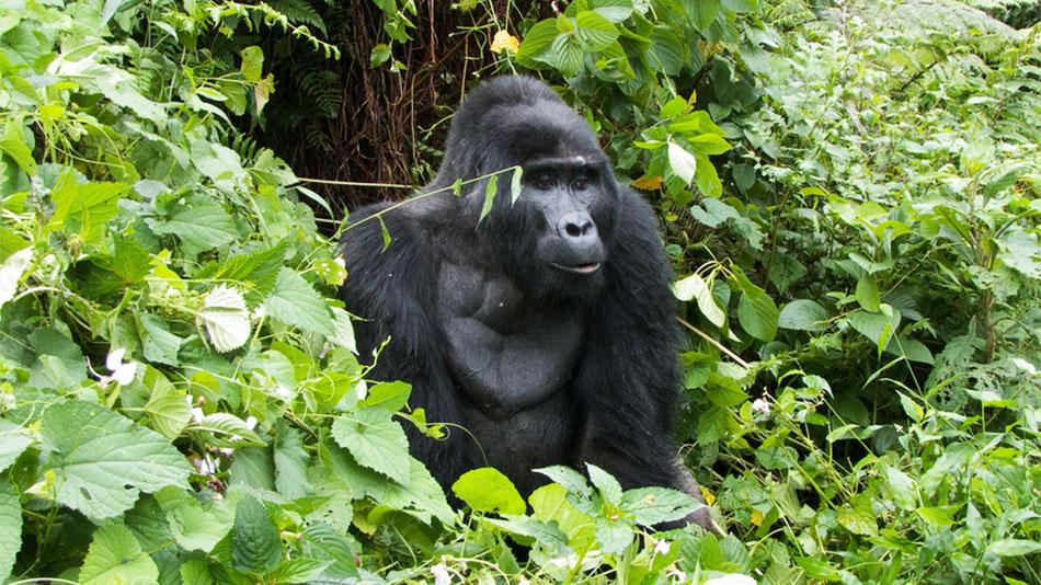 3 Days Uganda Fly In Gorilla Safari