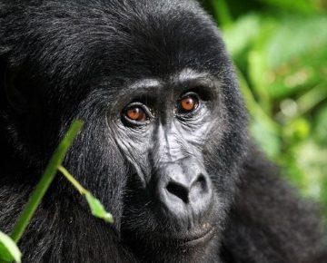2 Days Gorilla Tour