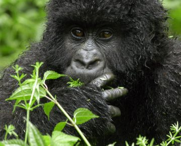 2 Days Gorillas and Bisoke Hike