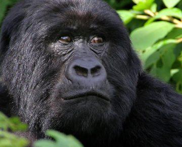 2 Days Rwanda Gorilla Trek