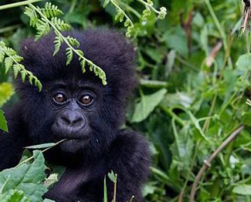 3 Days Double Gorilla Tracking