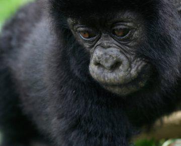 5 Days 3 Gorilla Treks