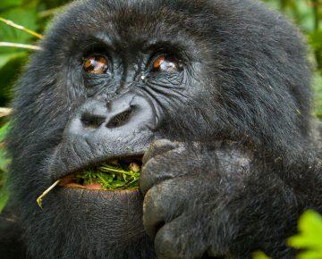 6 Days Gorilla Safari