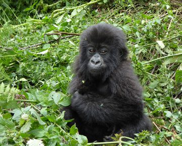 2 Days Congo Gorilla Tour in Virunga