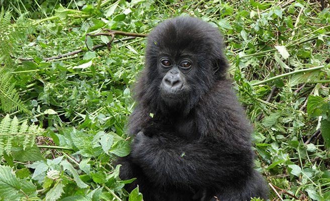 2 Days Congo Gorilla Tour in Virunga