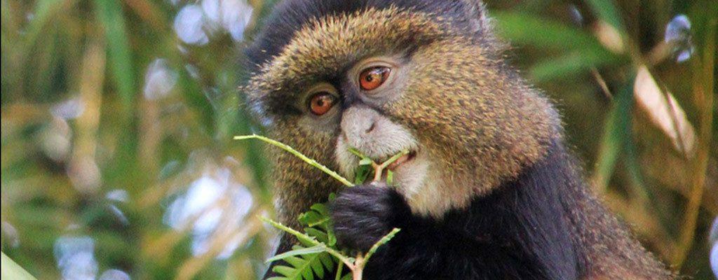 3 Days Rwanda Gorillas & Golden Monkeys
