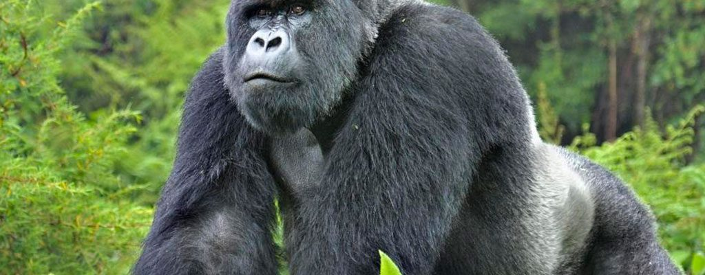 4 Days Congo Gorillas Special