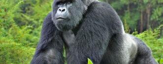 4 Days Congo Gorillas Special