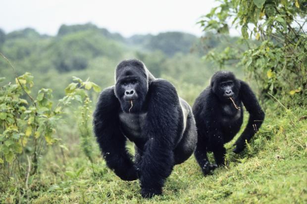 4 Days Lowland Gorilla