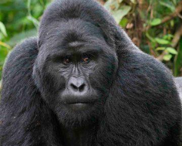 Gorilla Watching Holidays in Uganda & Rwanda