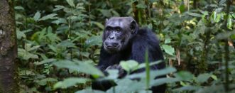 3 Days Lowland Gorillas & Chimpanzee Trekking Congo